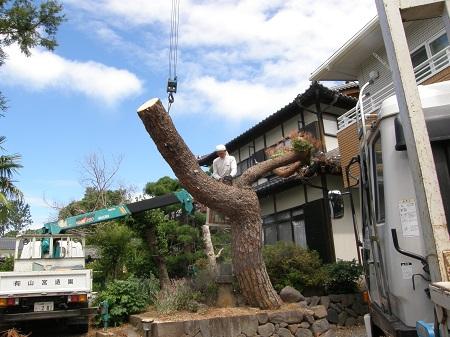 赤松伐採 003