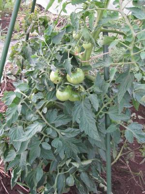 窒素トマト