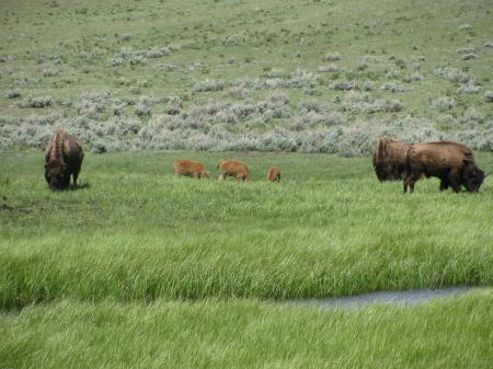 bison babyies 3