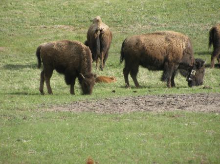 bison babies 2