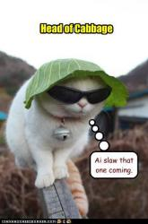 funny-pictures-head-of-cabbage-cat.jpg