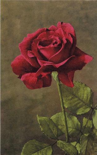 rose20postcard205.jpg