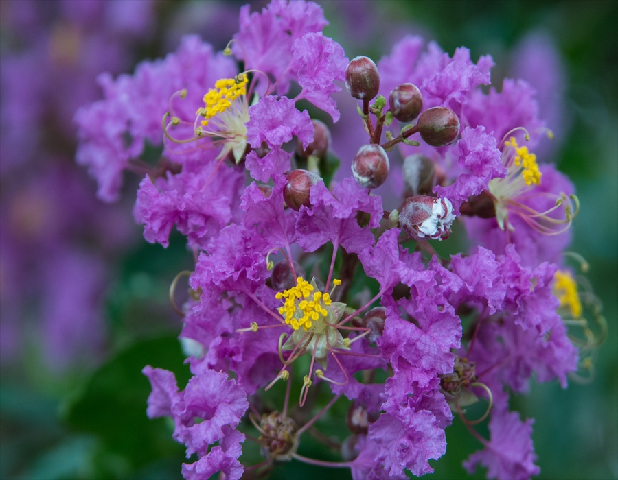 秋の花さるすべり04