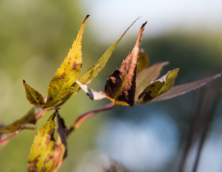 秋の葉光葉っぱ10