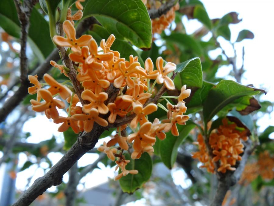 鎌倉しゃれたスタバオレンジ花