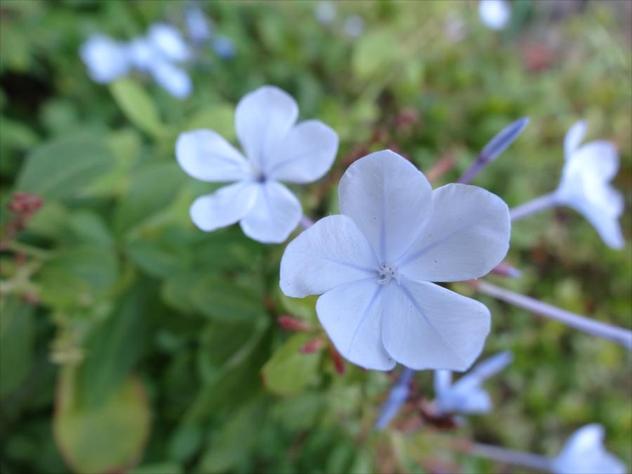 鎌倉しゃれたスタバこむらさき花