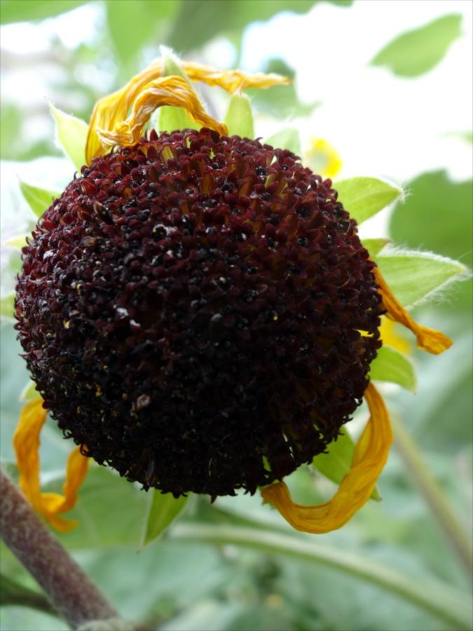 秋小さなひまわり次代のひまわり01