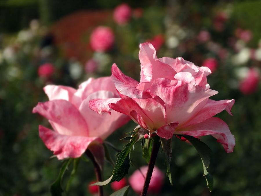 神代植物園ソニーバラ庭ピンクバラアップ