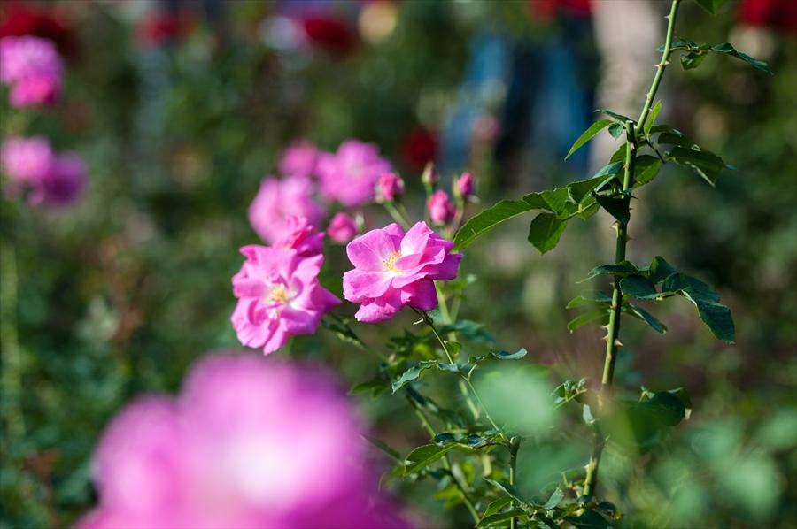 神代植物園k7ピンクバラ変わったバラ
