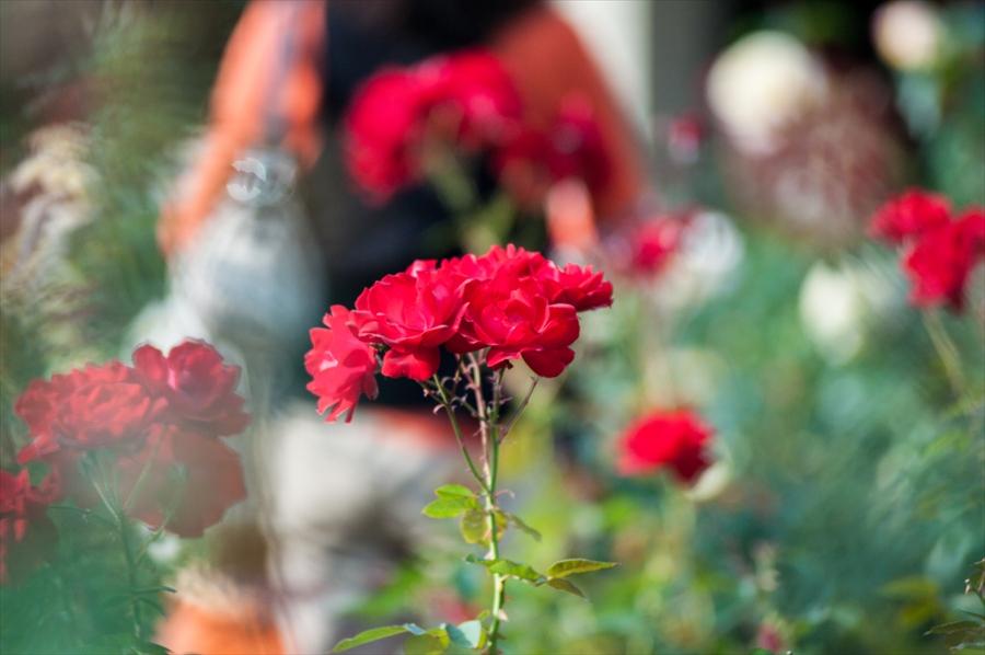 神代植物園k7赤バラピンクバラぼけ