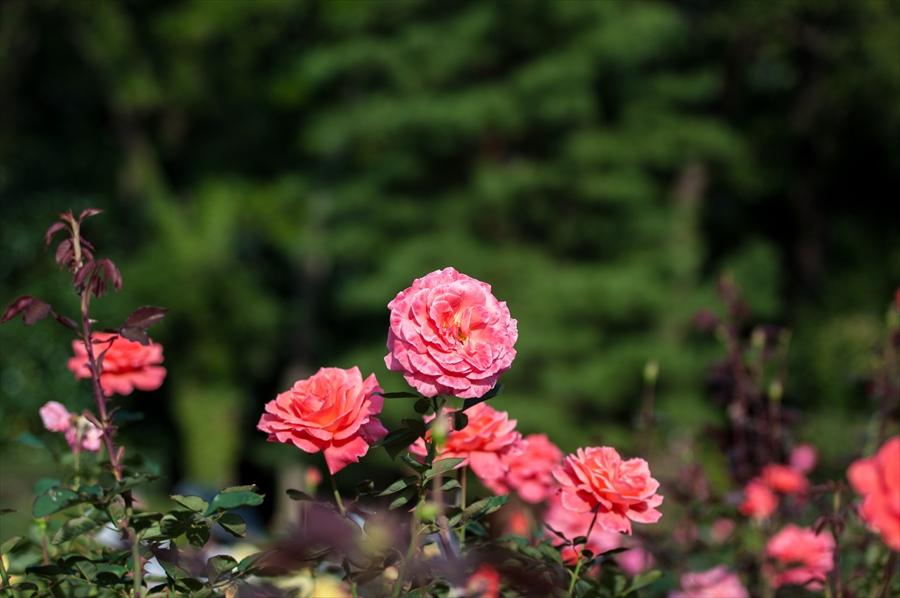 神代植物園k7背景に浮かび上がるピンクバラ