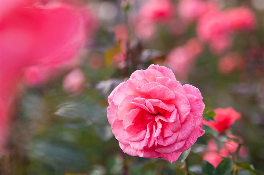 神代植物園k7背景に浮かび上がるピンクバラ01
