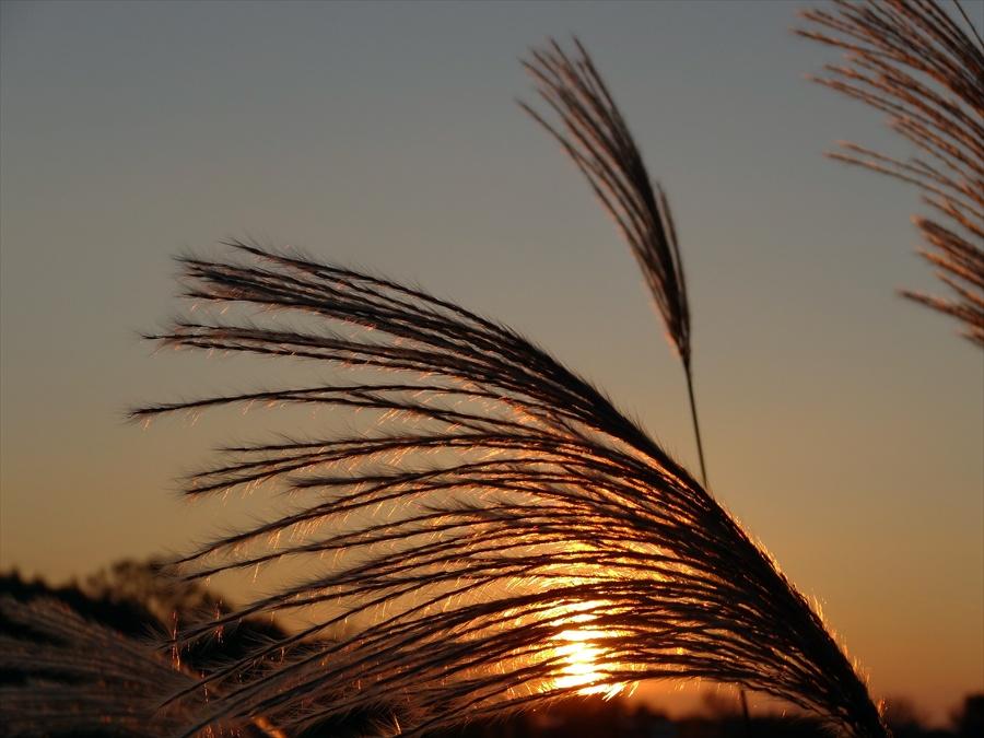 田舎夕景すすき横