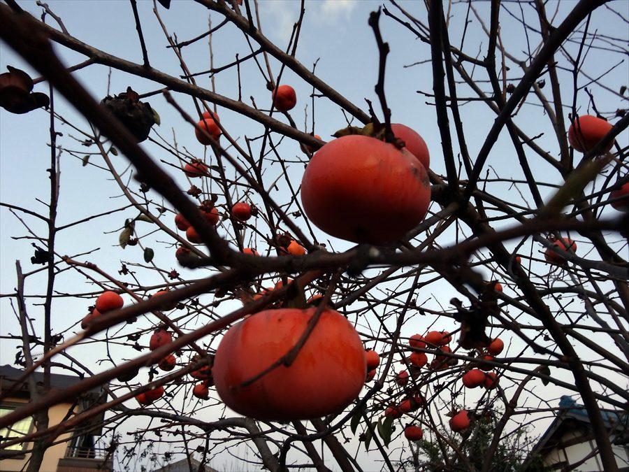 田舎夕景柿