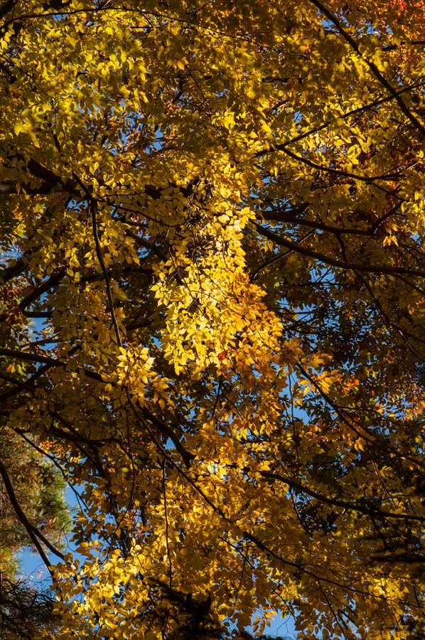 A山梨日川渓谷紅葉遊歩道スタート前鮮やかな黄葉