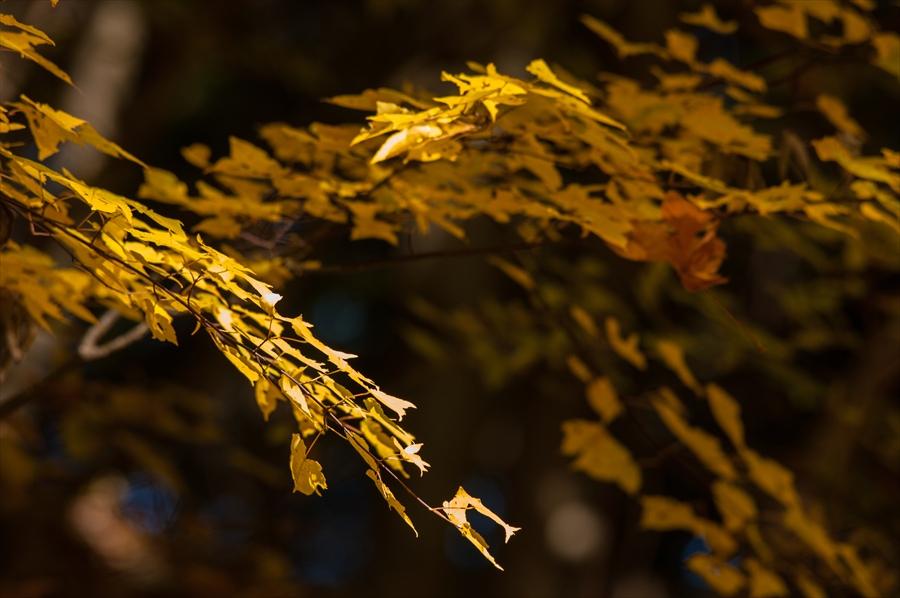 B山梨日川渓谷遊歩道スタートいきなり黄葉の葉