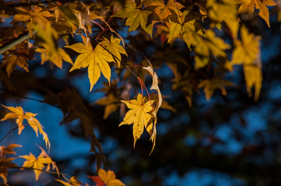 B山梨日川渓谷遊歩道スタートかえで黄葉