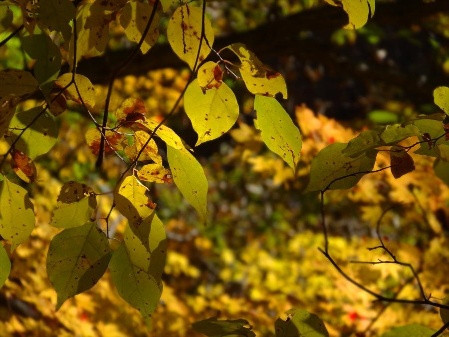 遊歩道黄葉
