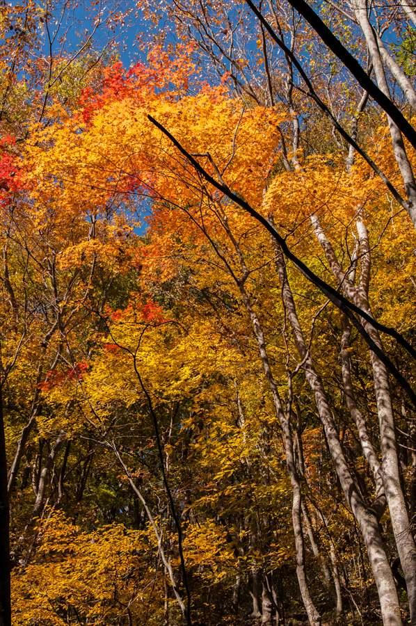 C山梨日川渓谷遊歩道紅葉黄葉高い樹