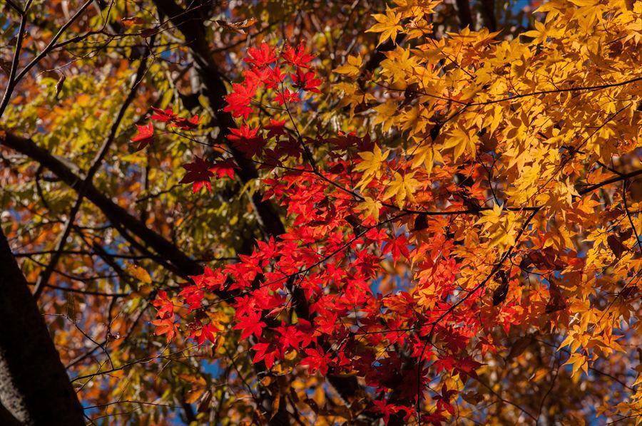 C山梨日川渓谷遊歩道紅葉かえでアップ