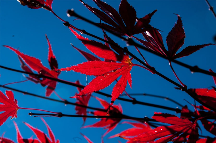F山梨日川渓谷下り道紅葉かえでアップ