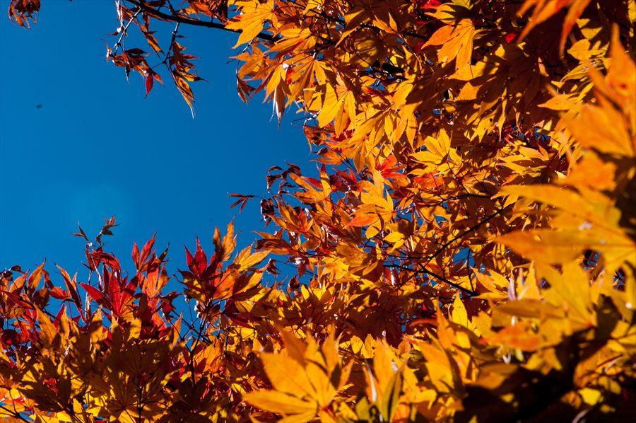 F山梨日川渓谷下り道黄葉いっぱい
