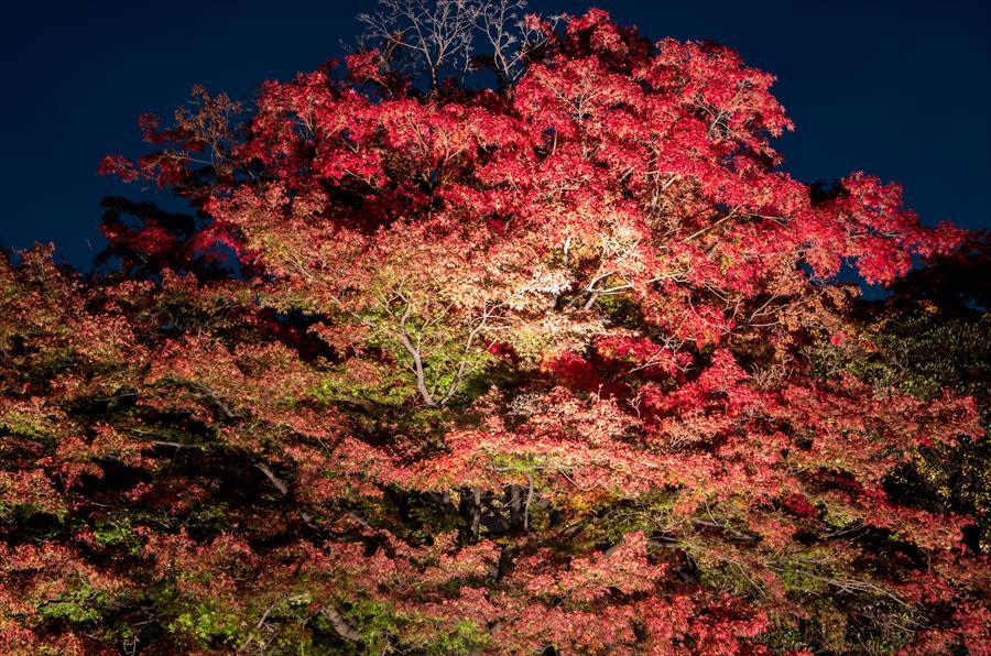 C六義園ライトアップ回遊路かえで大木葉っぱアップ