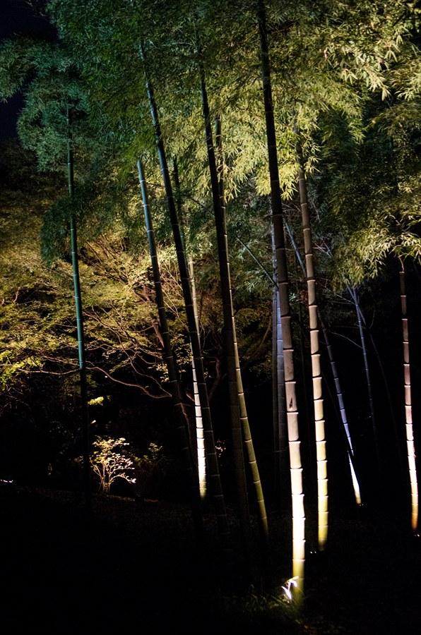 D六義園ライトアップ回遊路真竹