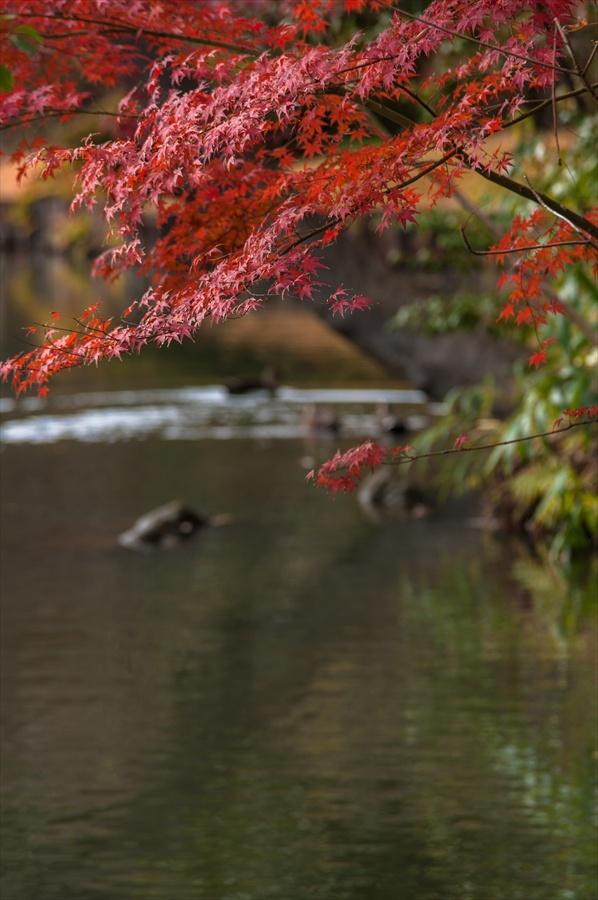 D六義園紅葉と池カモ泳ぐ