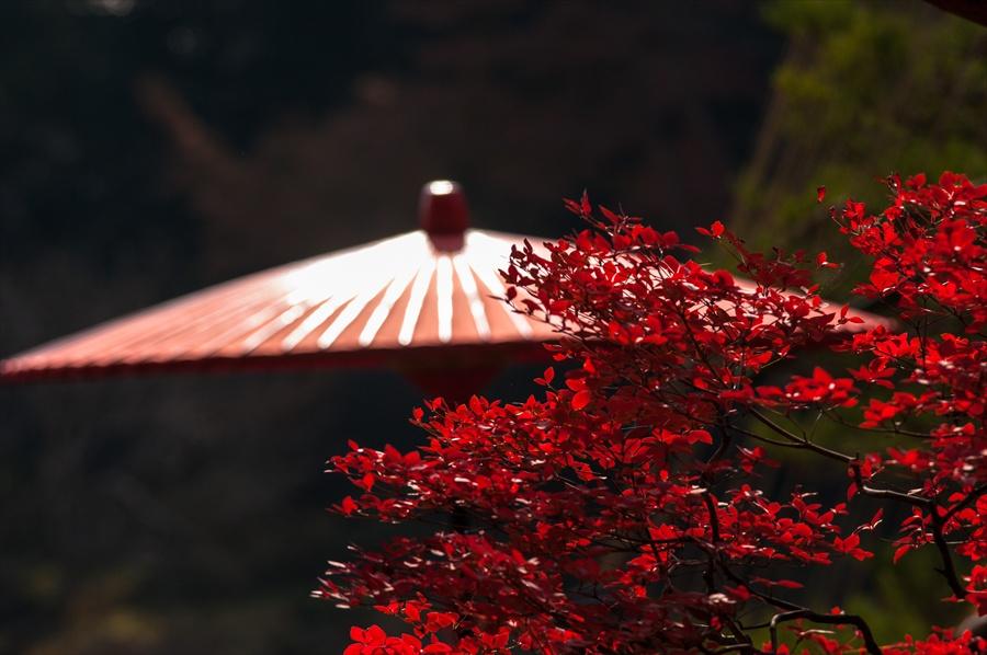 C1六義園お茶や前縁台傘と紅葉
