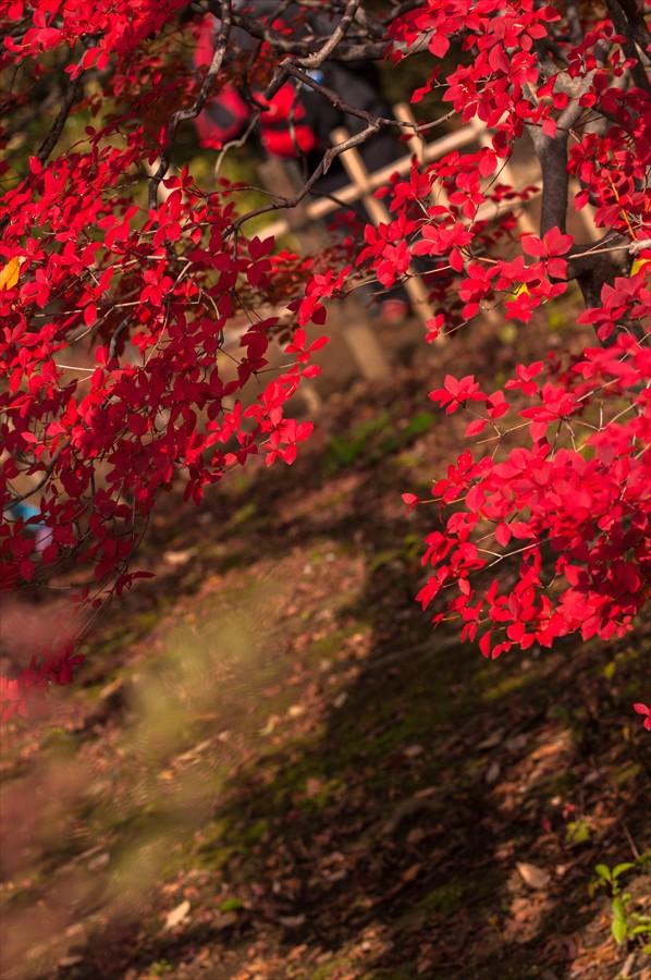 C2六義園お茶やどうだんつつじ影と紅葉