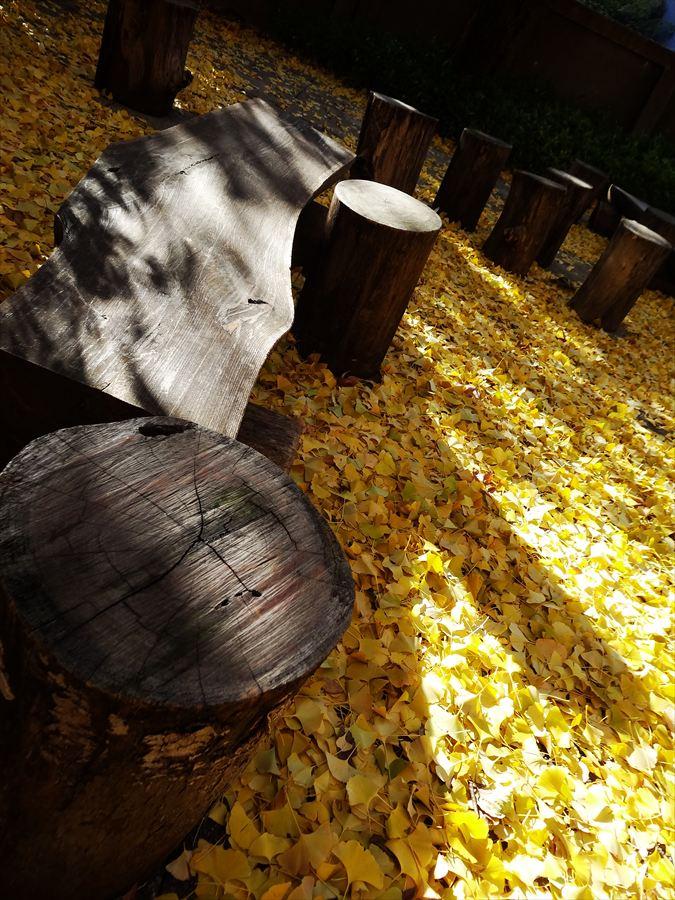龍岡門イチョウ落葉木の椅子