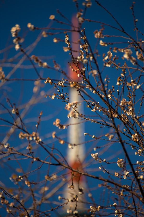 芝公園東京タワー遠望と黄葉01