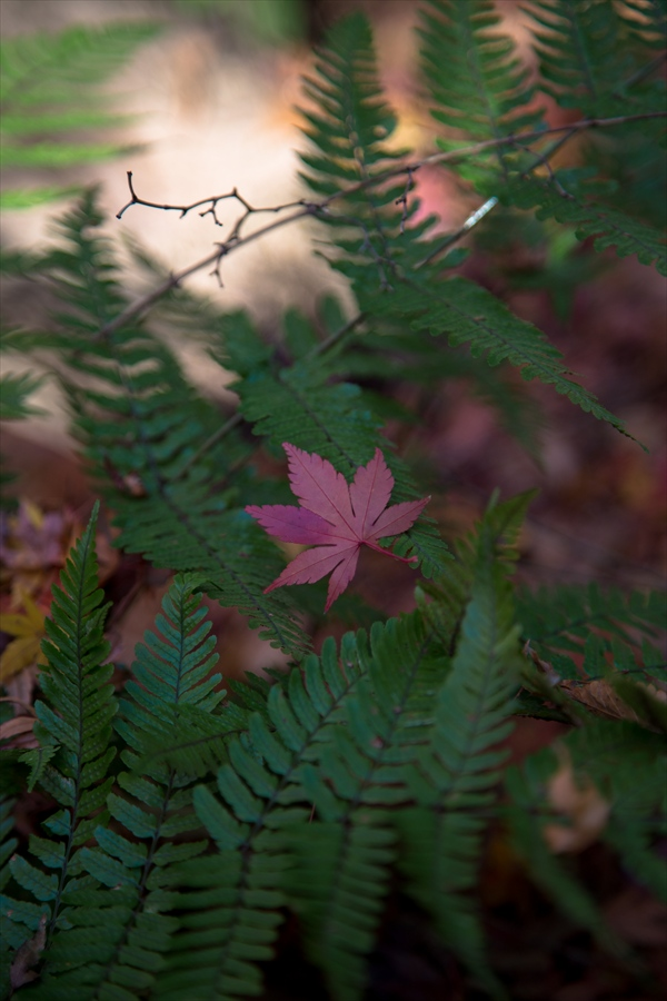 小石川後楽園しだの葉のな残り落葉03