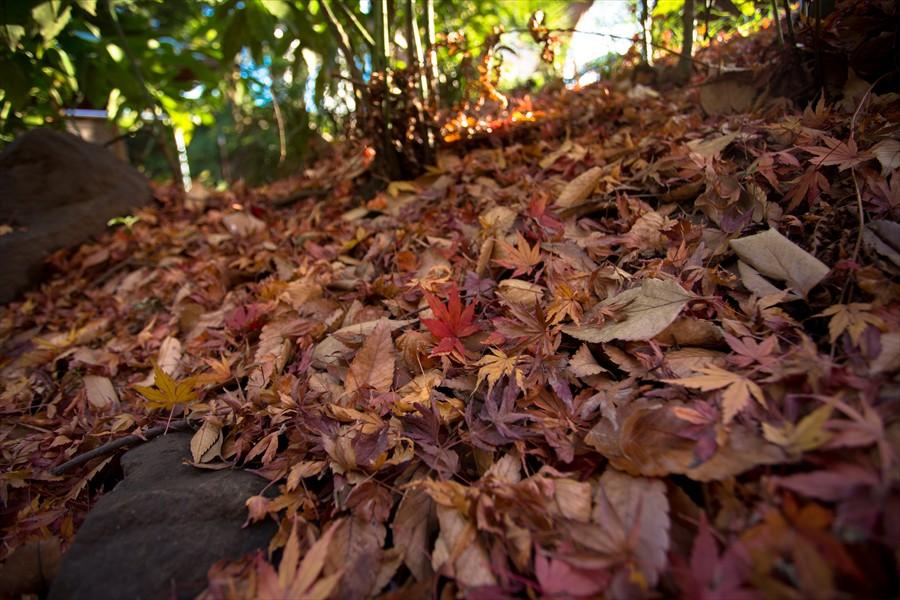 小石川後楽園落葉の絨毯04