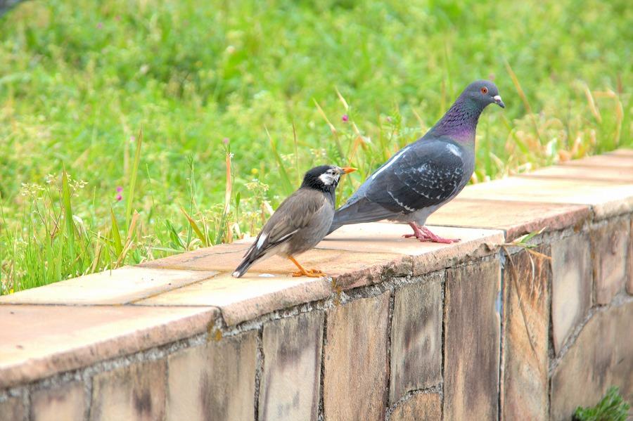 お台場風景シギと鳩