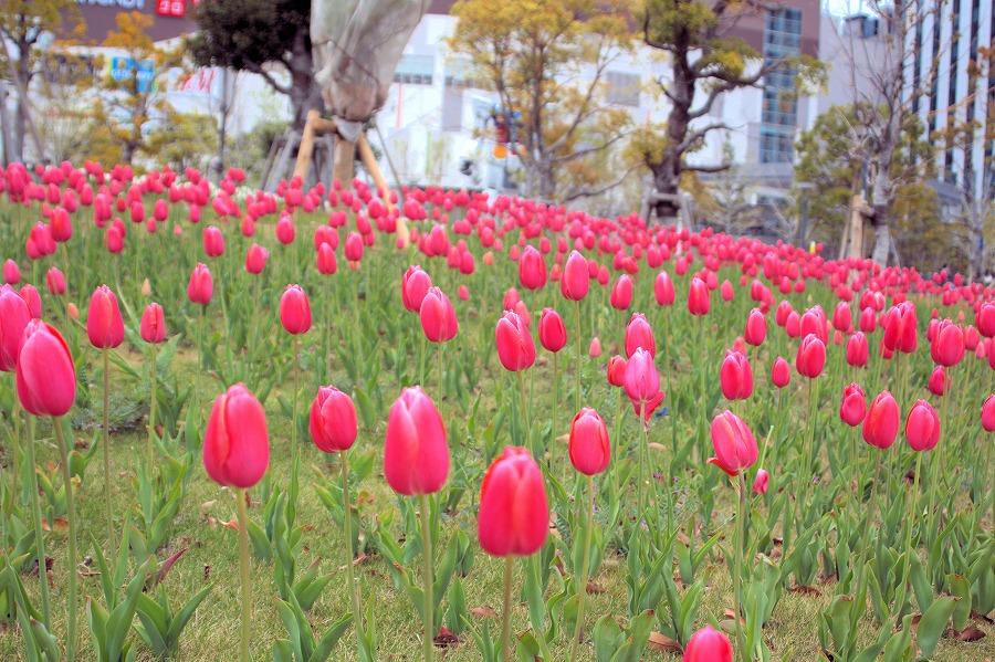 春花チューリップ02