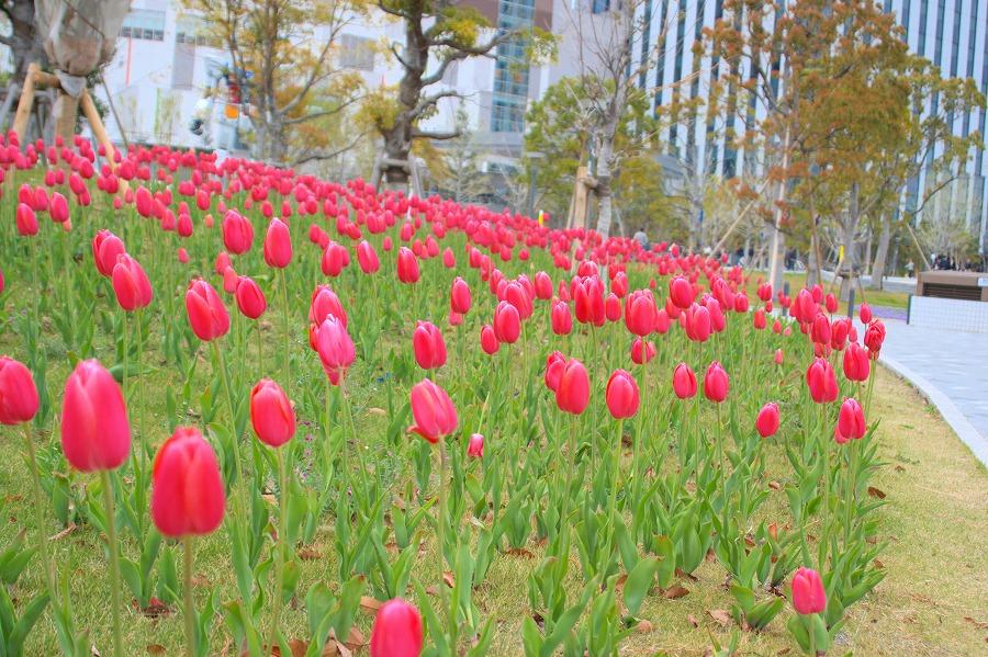 春花チューリップ03