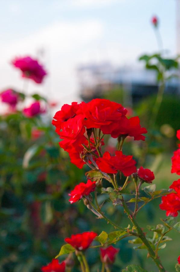 横浜山下公園バラ赤色00