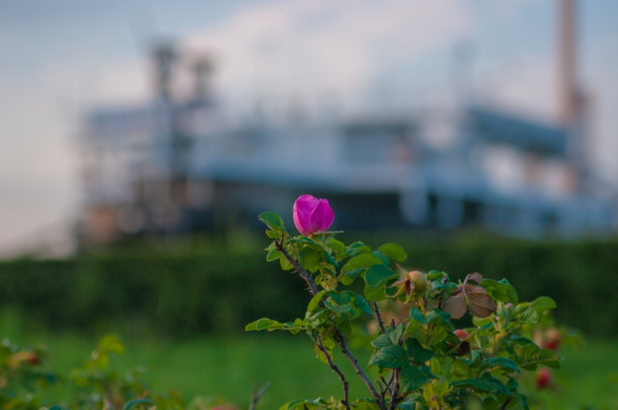 横浜山下公園バラ園01