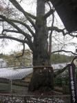 H240423北向観音の巨木「愛染カツラ」
