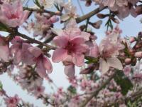 H240426川中島白桃花