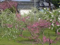 H240429リンゴモモプルーン花盛り