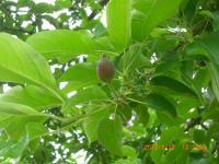 H240522リンゴの摘果アフタ