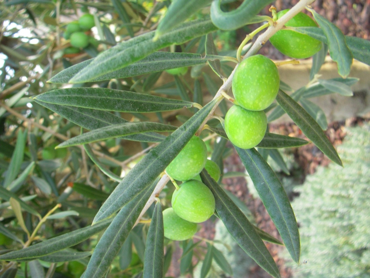 olive2012_9.jpg