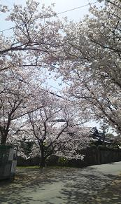 sakura201342.jpg