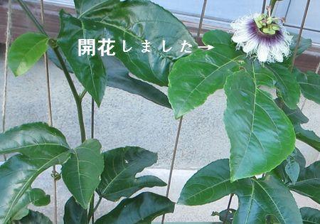 時計草 5