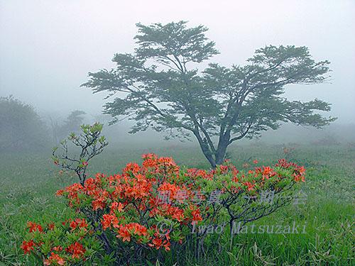霧のレンゲツツジ