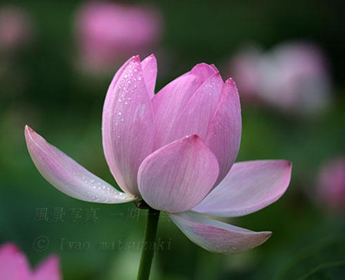 ハスの花咲く 3