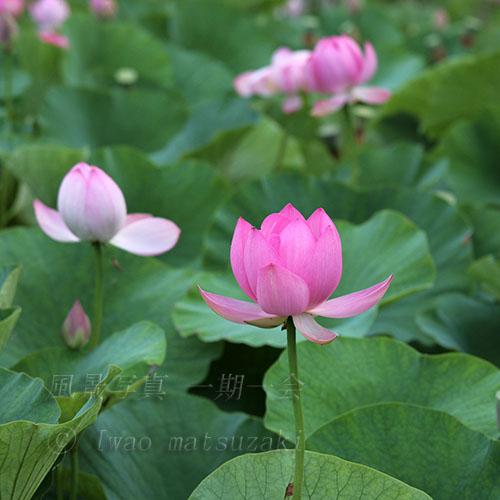 ハスの花咲く 2